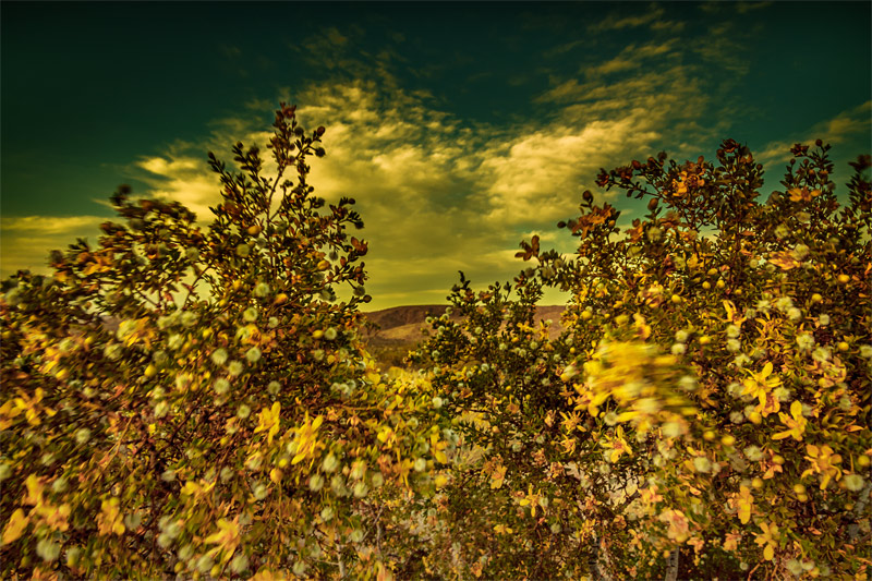 joshua tree creosote bush clouds art