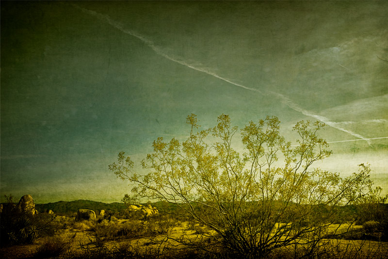 joshua tree giant creosote bush fine art