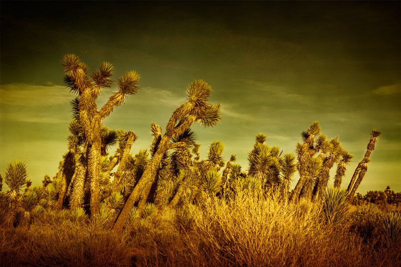 antelope valley arthur b ripley joshua tree