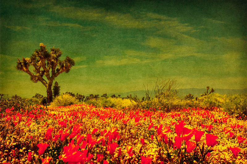 antelope valley poppies avenue D joshua tree