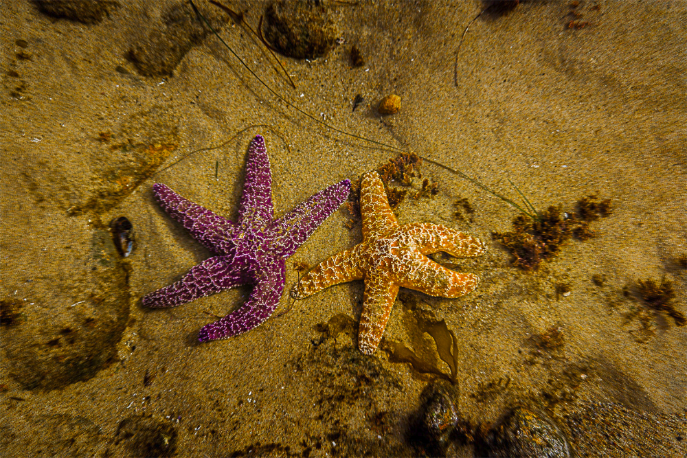 starfish SoCal Seascapes